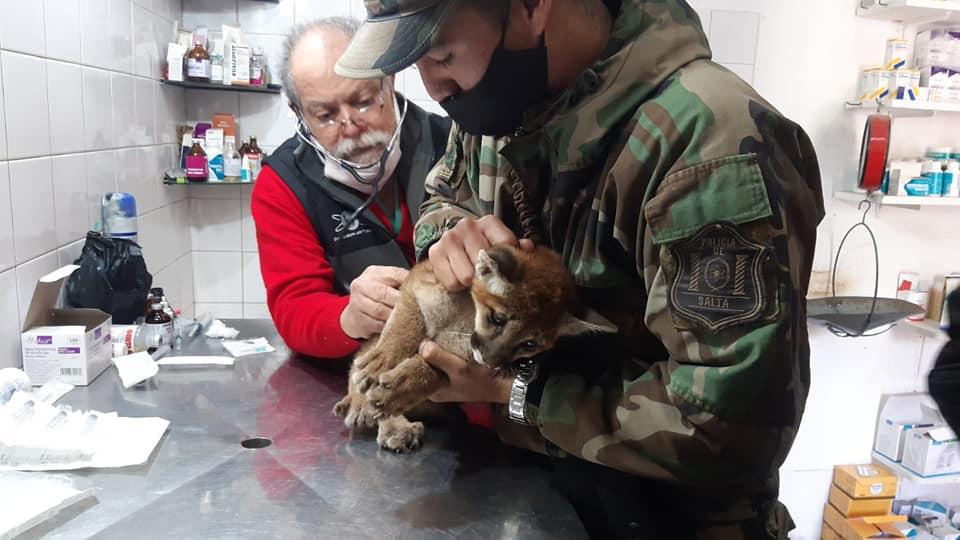 Rescatan a una cachorra puma que permanecía en cautiverio