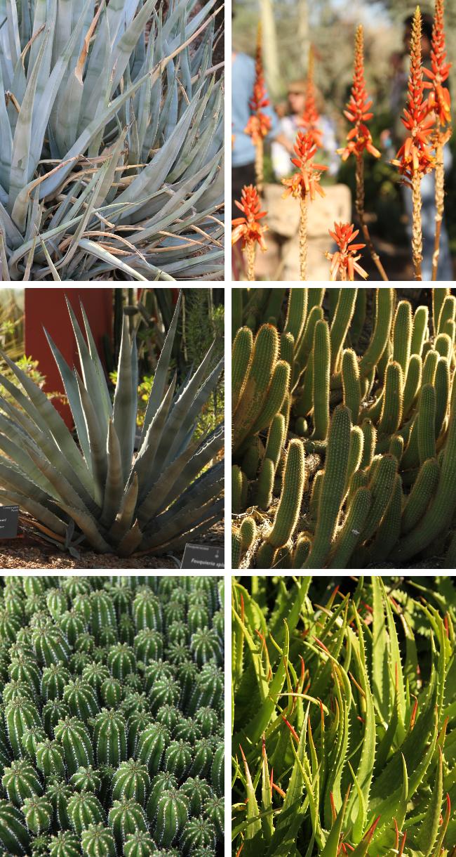 Agave, aloe, yucca, cacti