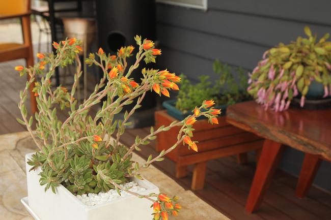 Echeveria flowers