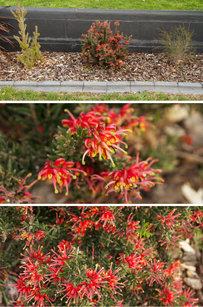 Grevillea 'Fireworks' - Autumn/winter flowers, 2016 | Saltbush Avenue