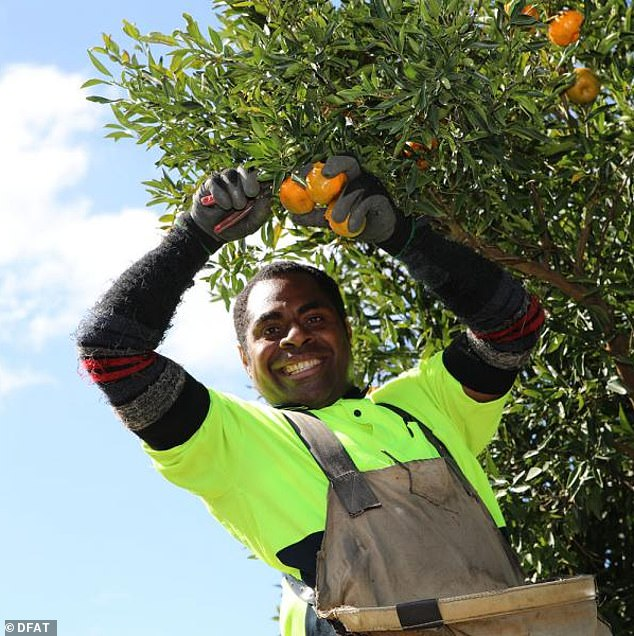 Pacific Island fruit pickers are being flown in to South Australia in time for the citrus fruit harvest
