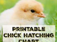 printable chick hatching chart