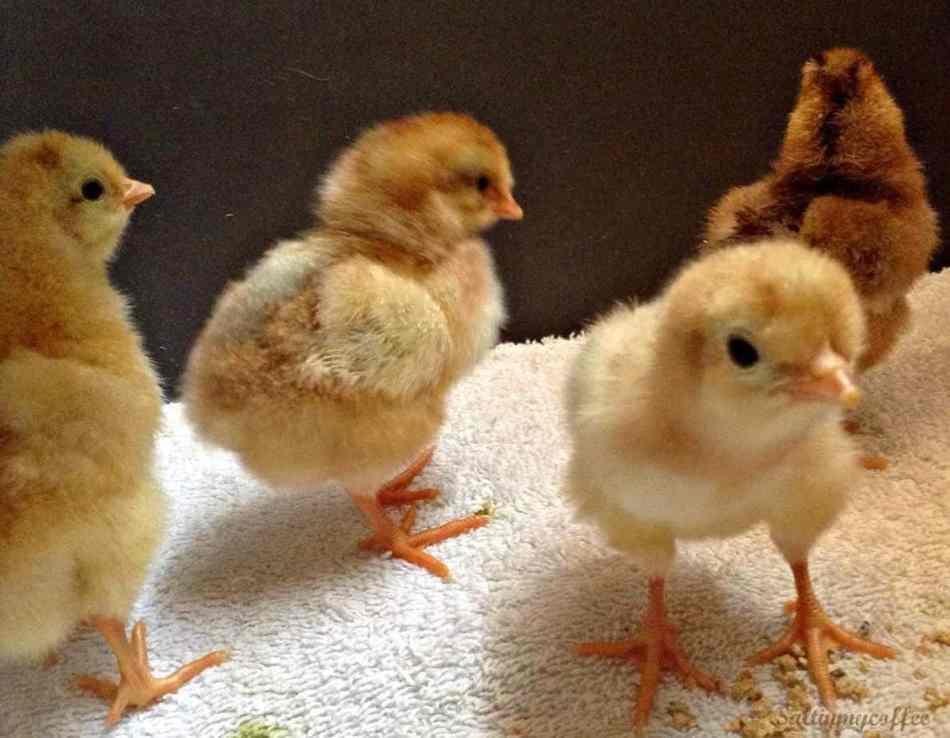 Printable Chick Hatching Chart