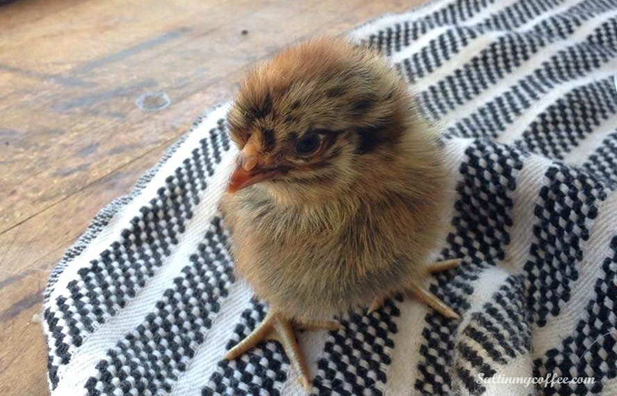 extra income hatching chicks