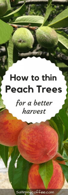 How to thin peaches for better harvests