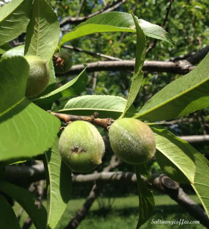 how to thin peach trees