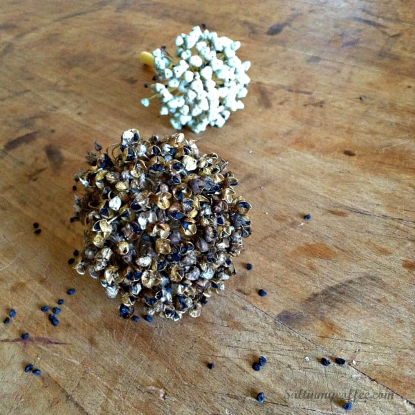 saving your own onion seeds