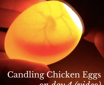 video of candling chicken eggs on day 4