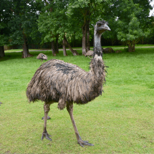 emu farming