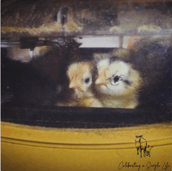 chicks newly hatched from stored eggs