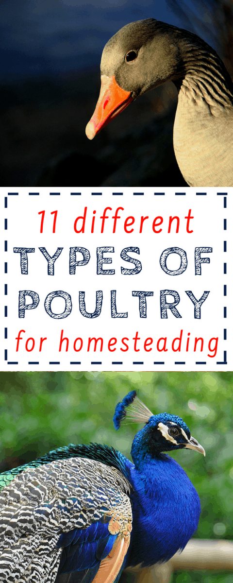 11 kinds of poultry to consider adding to your homestead! Not a chicken fan? No problem...here are 10 other varieties of poultry that you can raise and breed!