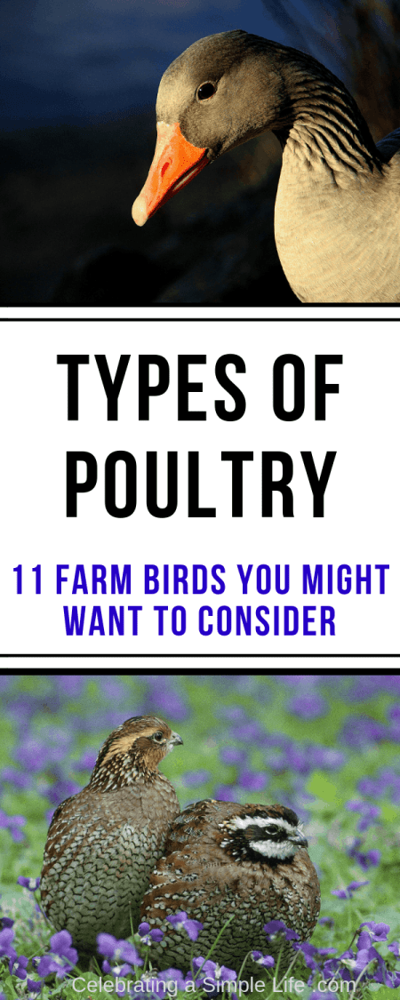 types of poultry for farms and homesteads
