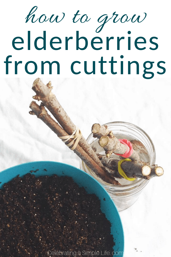 how to grow elderberries from cuttings