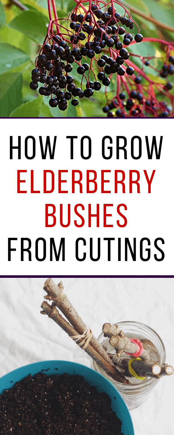how to grow elderberries from cuttings #gardening #organicgardening #frugalgardening #elderberry #growingelderberries