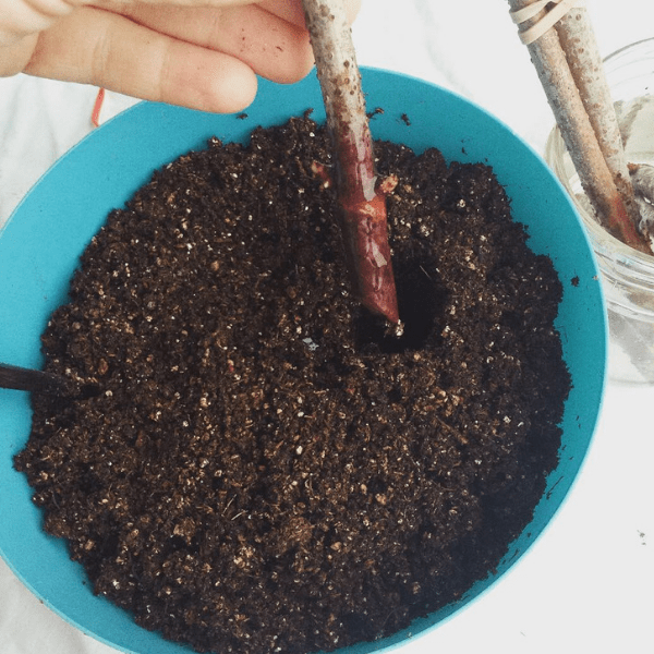 how to root elderberry cuttings with rooting hormone