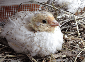 boredom busters for quail