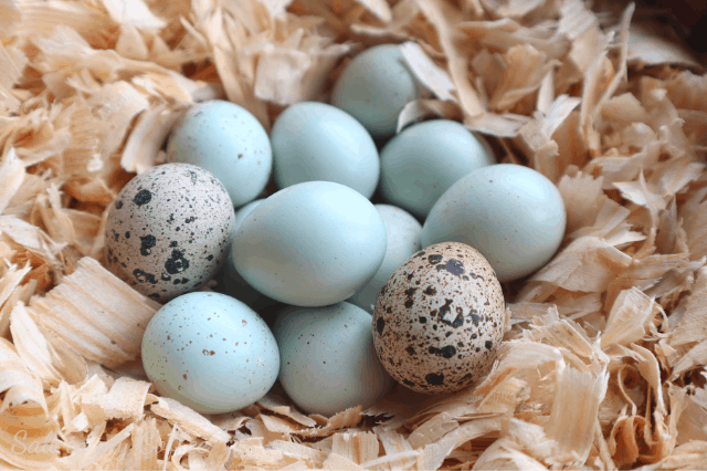 celadon quail eggs with regular coturnix quail eggs