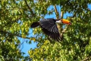 rodrigo-aves-9-300x200 As aves em suas cores e tamanhos diversos iluminando a natureza em Salto do Jacuí. Vamos preservar nossas riquezas. Fotos: Rodrigo Rodrigues