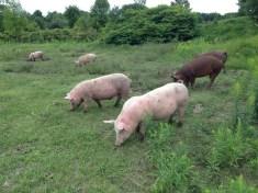 Swine a' grazing