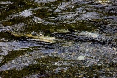 salmon-run-goldstream_MG_2679