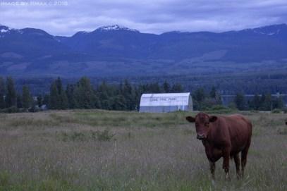 cows-denman2-x_MG_0951