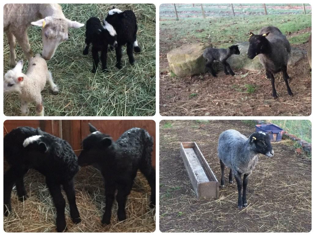 new Gotlands at North Beach Farm