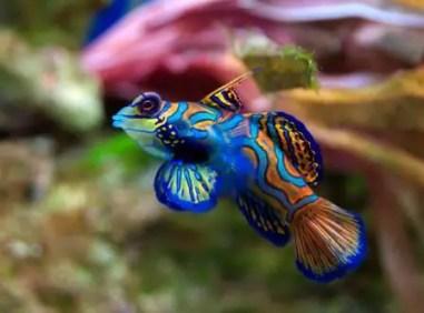 avoid buying mandarinfish as a starter saltwater aquarium fish