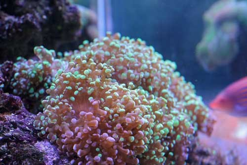 frogspawn coral 2