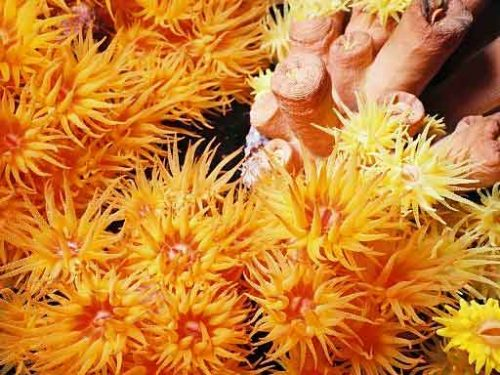 tubastraea sun coral species