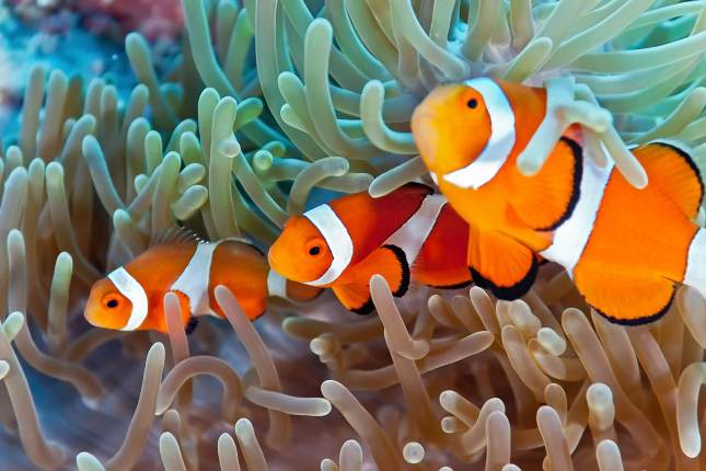 Saltwater Clownfish with Sea Anemone Available at Aquatic Treasures of Southern, Nevada