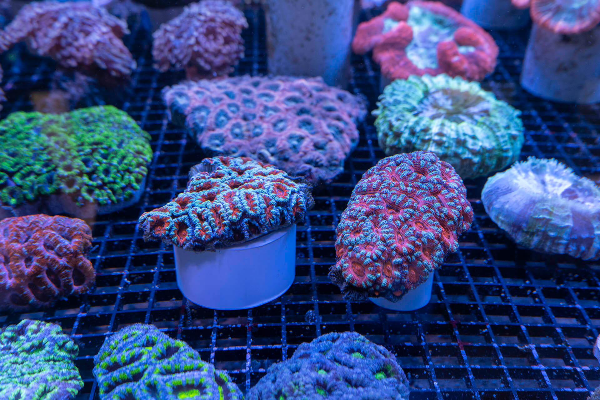 Mature Live Coral & Frag Specimens