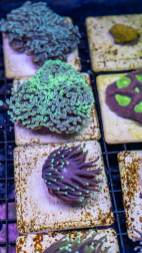 Coral Fragmentation or Frags Available at Aquatic Treasures of Las Vegas, Nevada
