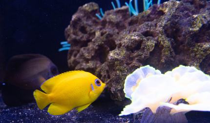Lemon Peel Angel Fish - Saltwater Fish from Aquatic Treasures of Las Vegas, Nevada