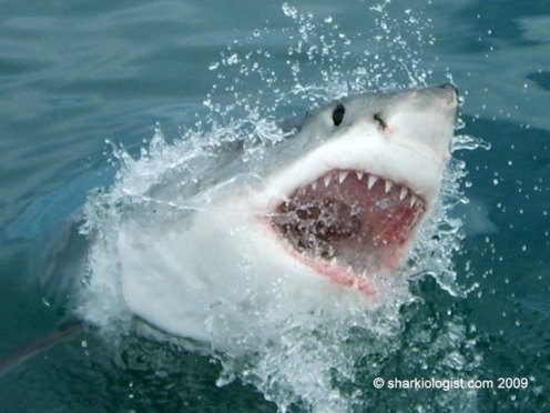 The classic White Shark (Carcharodon carcharias) image, off Hermanus, 1 hour East of Cape Town. (Photo credit: Daniel Dawes)