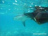 Large Bull Shark (Carcharhinus leucas) being I.D tagged for population monitoring and habitat usage. South Bimini, Bahamas.