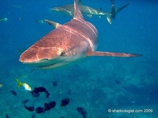 Caribbean Reef Shark (Carcharhinus perezi) coming in for a closer look, South Bimini, Bahamas. (Photo credit: Charlotte Cook)