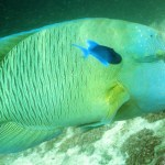 Napolean Wrasse, South Ari Atoll, Maldives