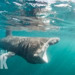 A Basking Shark feeding on plankton. Photo Credit Richard Aspinall