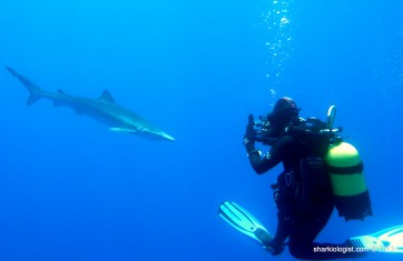 Strange body positioning in an attempt to get the perfect shot of a Blue Shark (Prionace glauca), Azores Bank