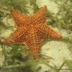 A huge starfish, Bimini, Bahamas.