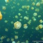 Jellyfish Lagoon, Palau