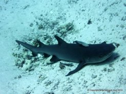Whitetip reek shark (Triaenodon obesus) Palau