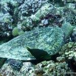 Hawksbill Sea Turtle, Palau
