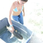 Releasing a juvenile lemon shark (Negaprion brevirostris) after tag attachment, Bimini, Bahamas.