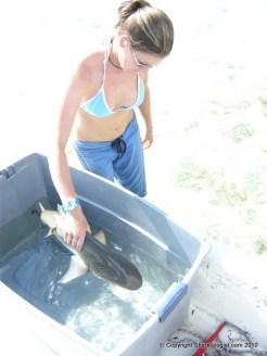 Releasing a juvenile lemon shark (Negaprion brevirostris) after tag attachment, Bimini, Bahamas.