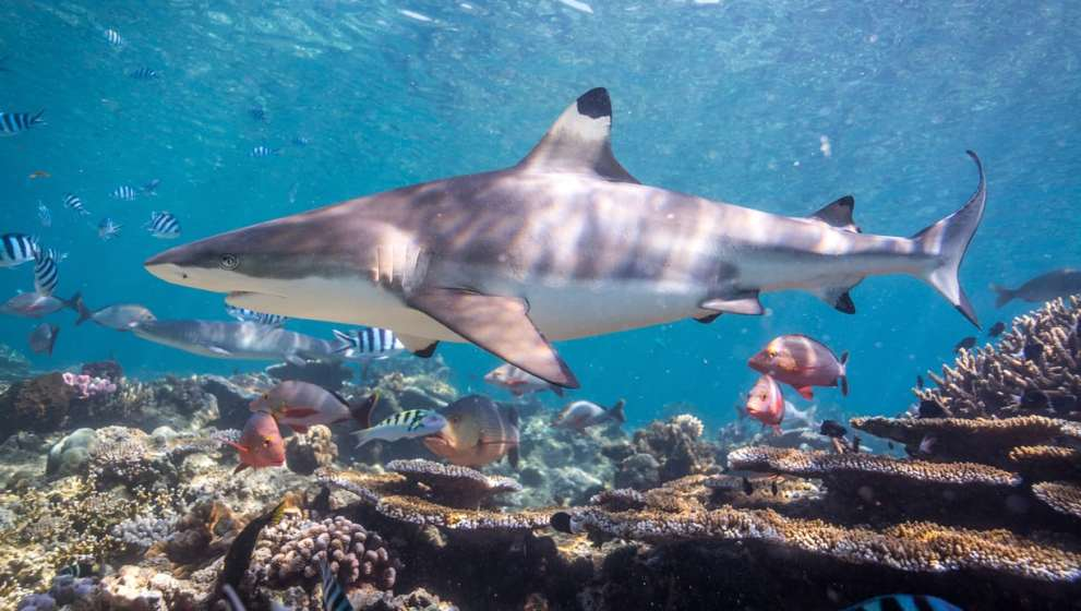 Giving Fiji's Shark God a Helping Hand