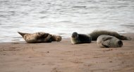 Grey seals enjoy snoozing on the North bank of the river Ythan Estuary, Newburgh, Aberdeenshire