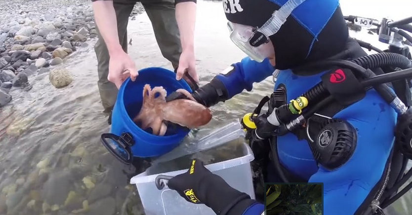 Octopus release goes swimmingly!