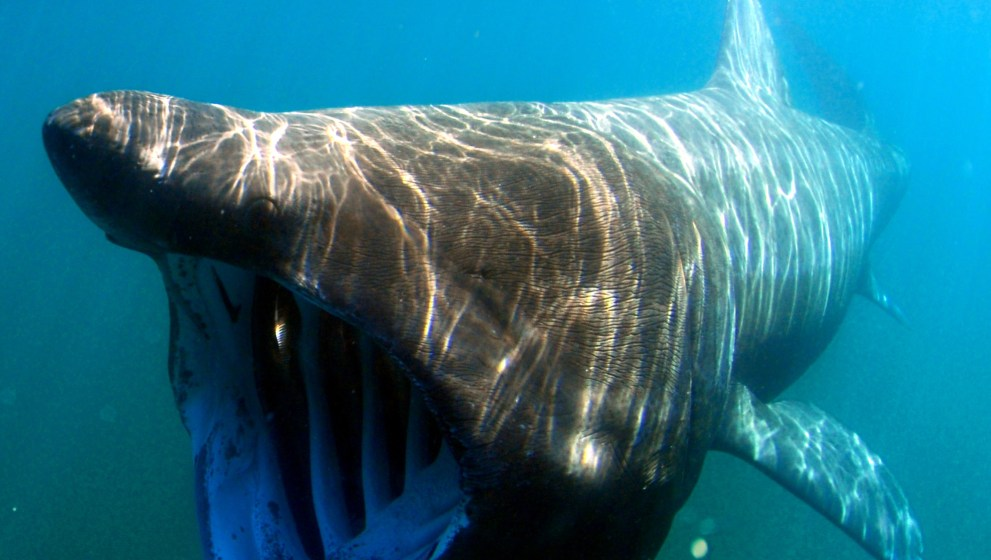 Basking Sharks; Genetic Tagging, Gene Flow & Migration Routes
