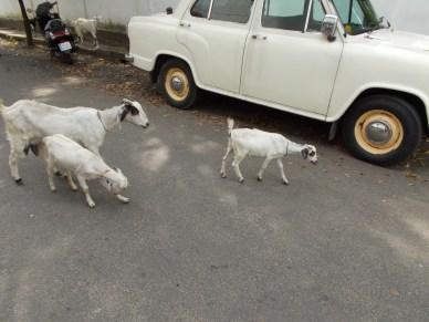 Wild goats, Cochin